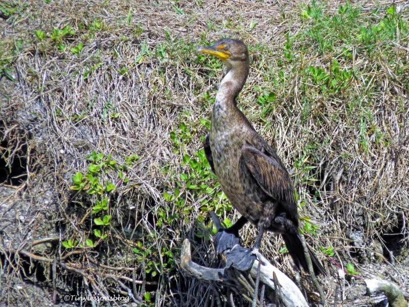 cormorant ud117.jpg