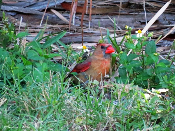 female cardinal ud117