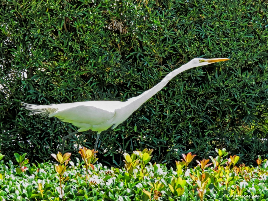 great egret in our garden ud117
