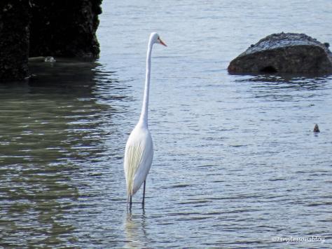 great egret st augustine ud122