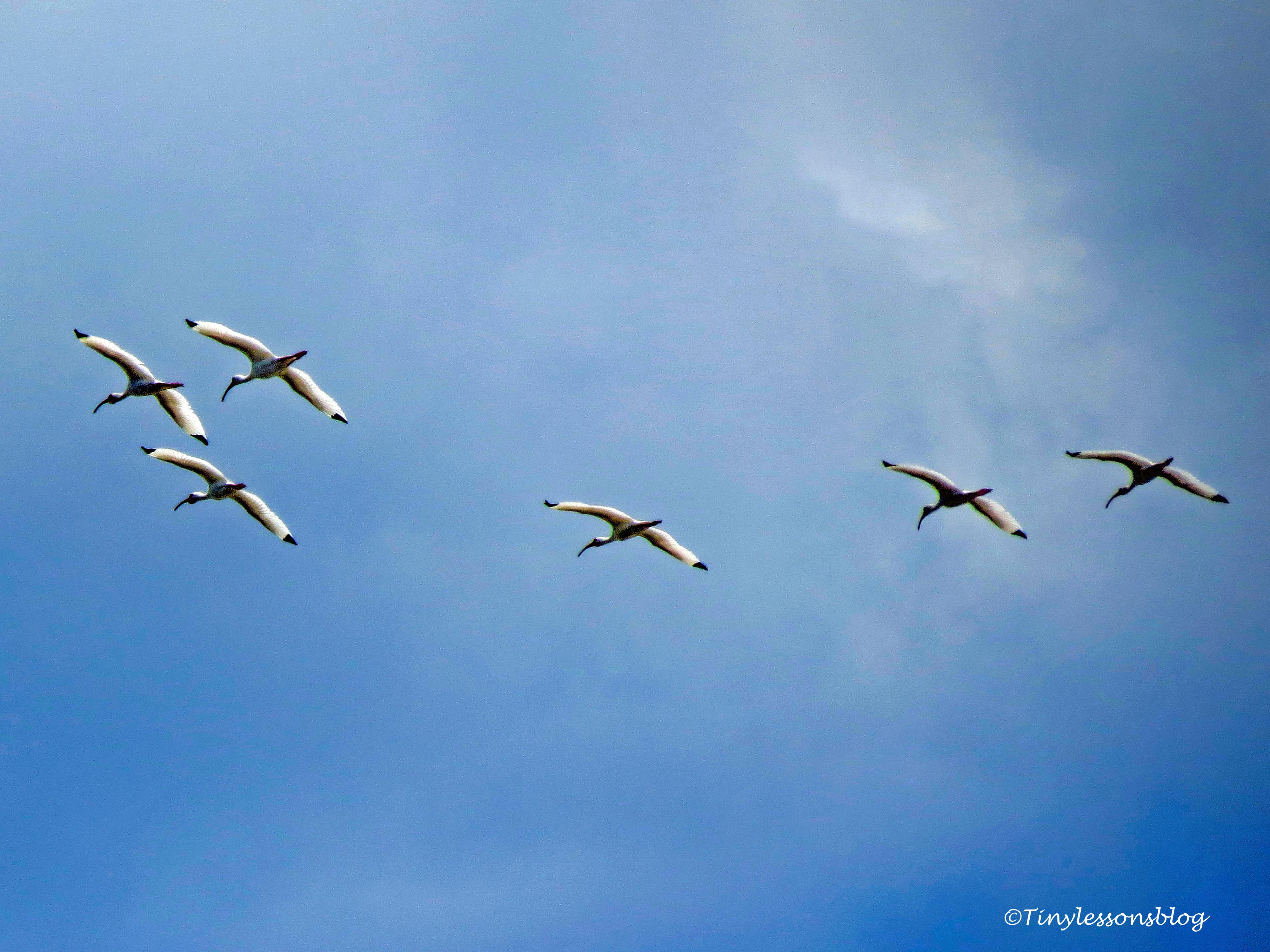 ibis in flight ud121
