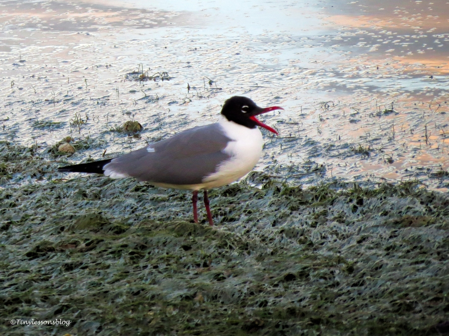 laughing gull ud122