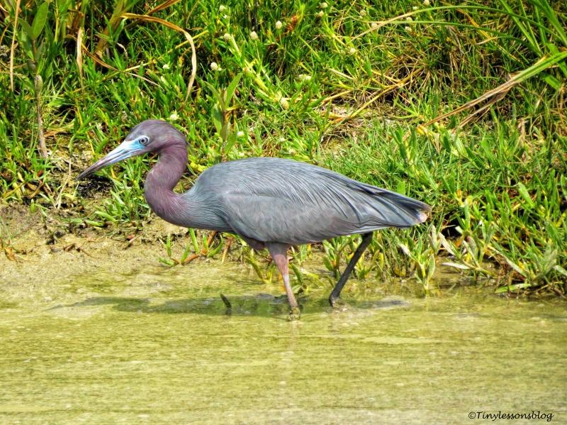 little Blue Heron ud115
