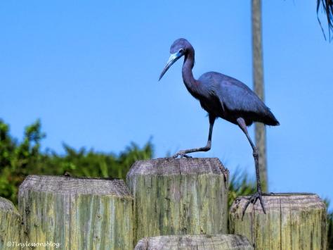 little blue heron ud117