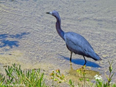 little blue heron ud121