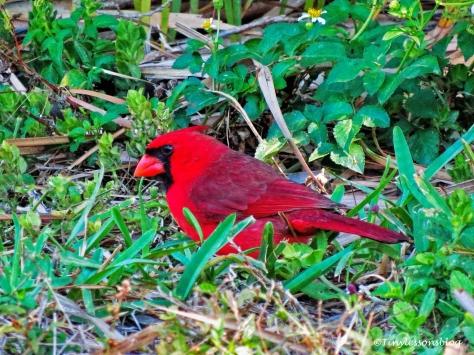 male cardinal ud117