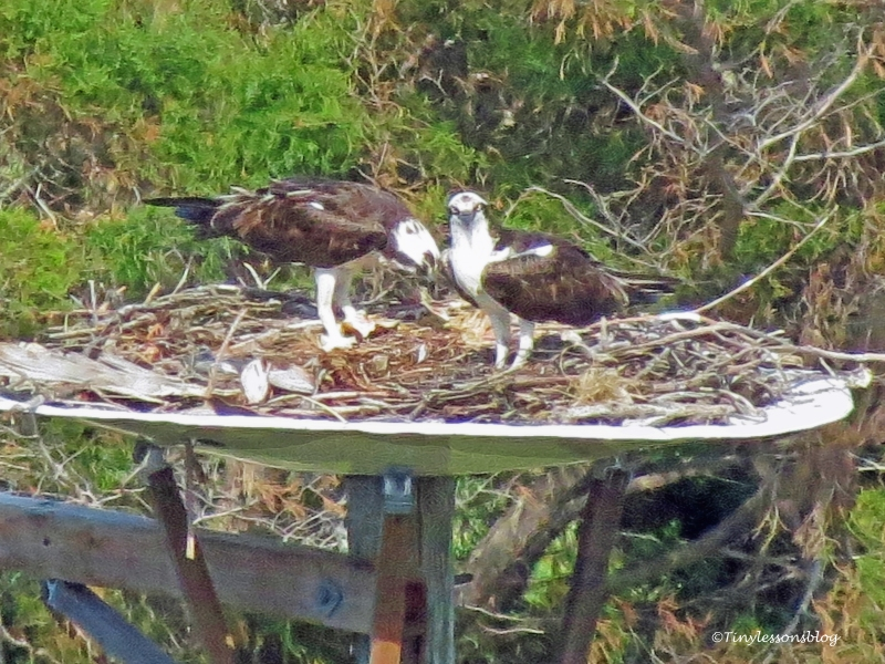 mama and papa osprey tend to chicks ud115
