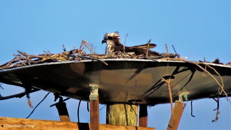 mama osprey 2 ud120