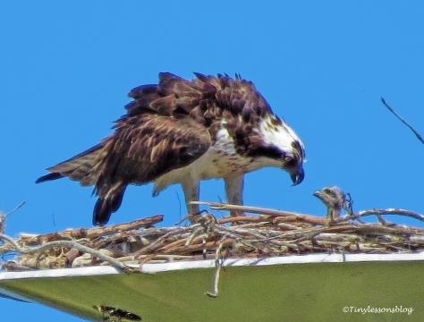 mama osprey feeds one chick ud117