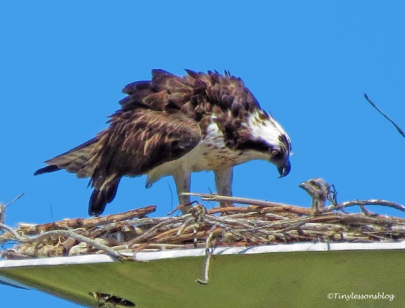 mama osprey feeds one chick ud117