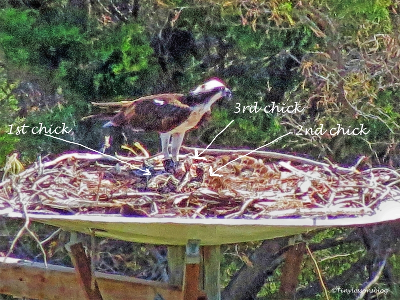 mama osprey feeds three chicks 4 ud119