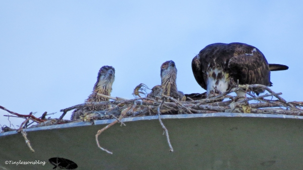 mama osprey feeds two chciks ud122