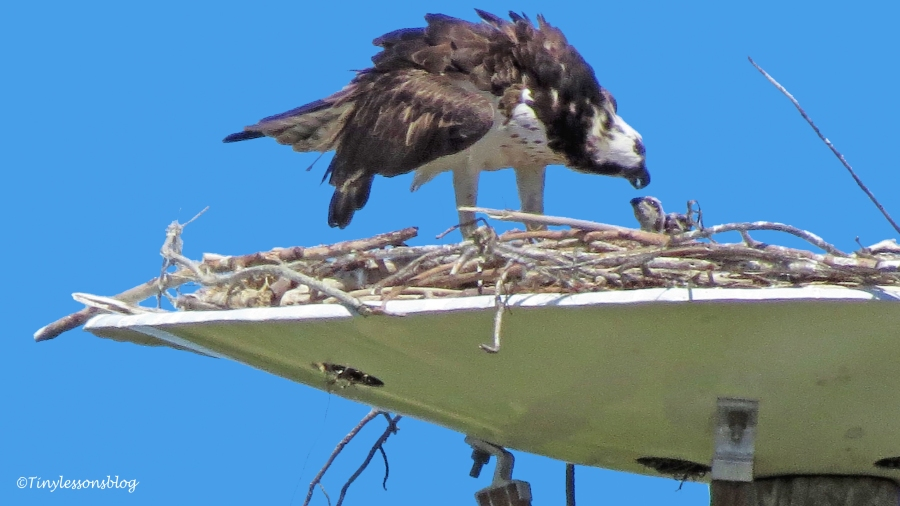 Mama osprey feeds two chicks 3 ud117