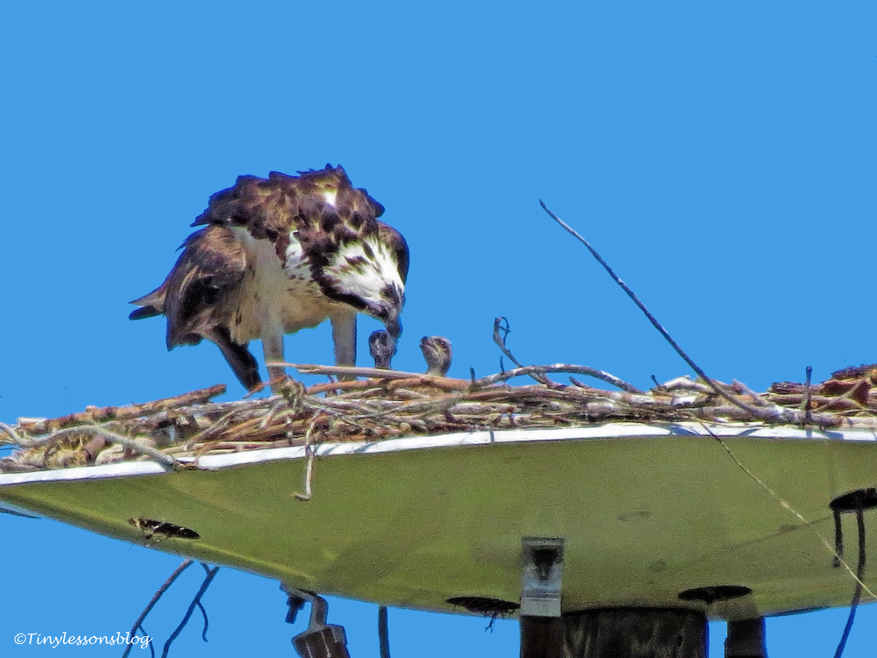 mama osprey feeds two chicks ud117