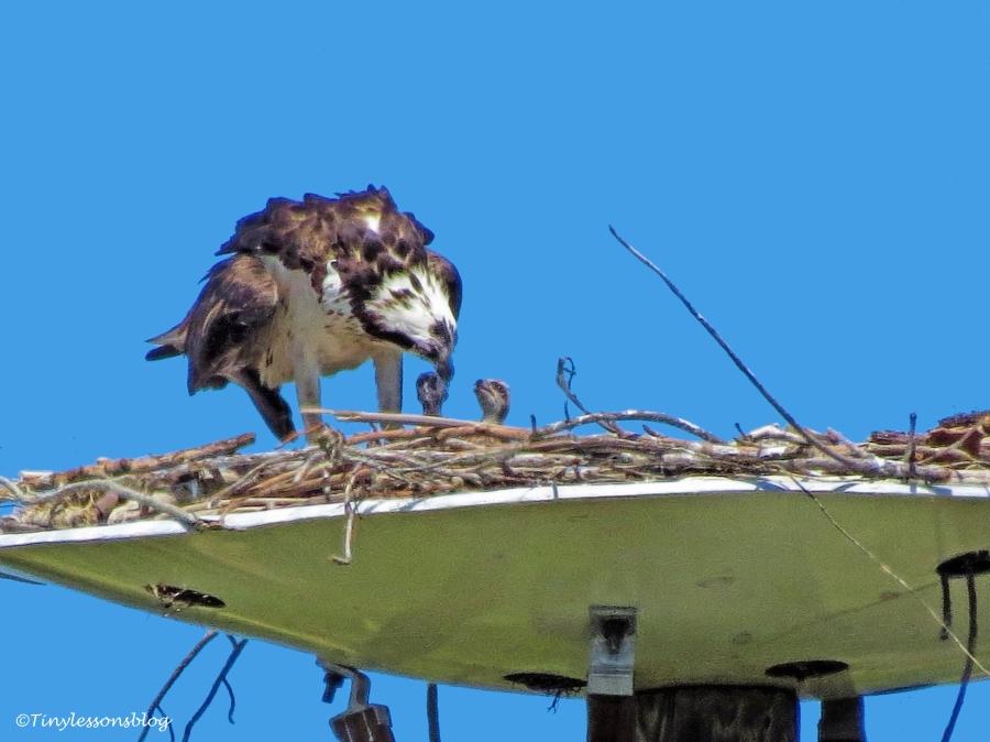 mama osprey feeds two chicks ud117
