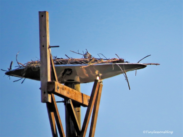 mama osprey in the nest at sunset