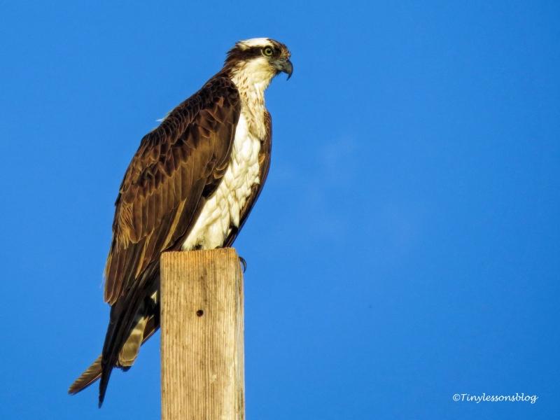 mama osprey minds the kids ud122