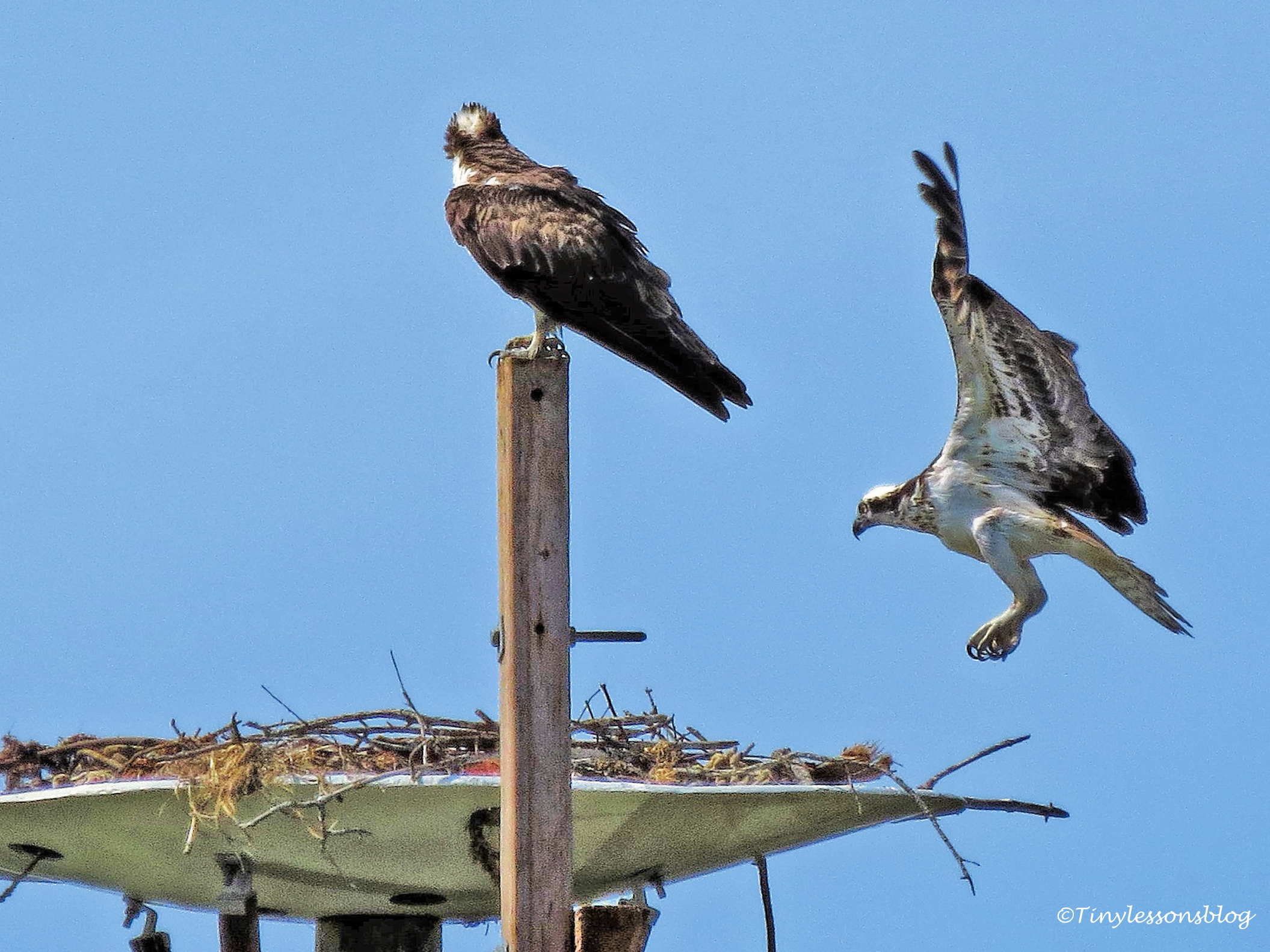 mama osprey returns first time ud115