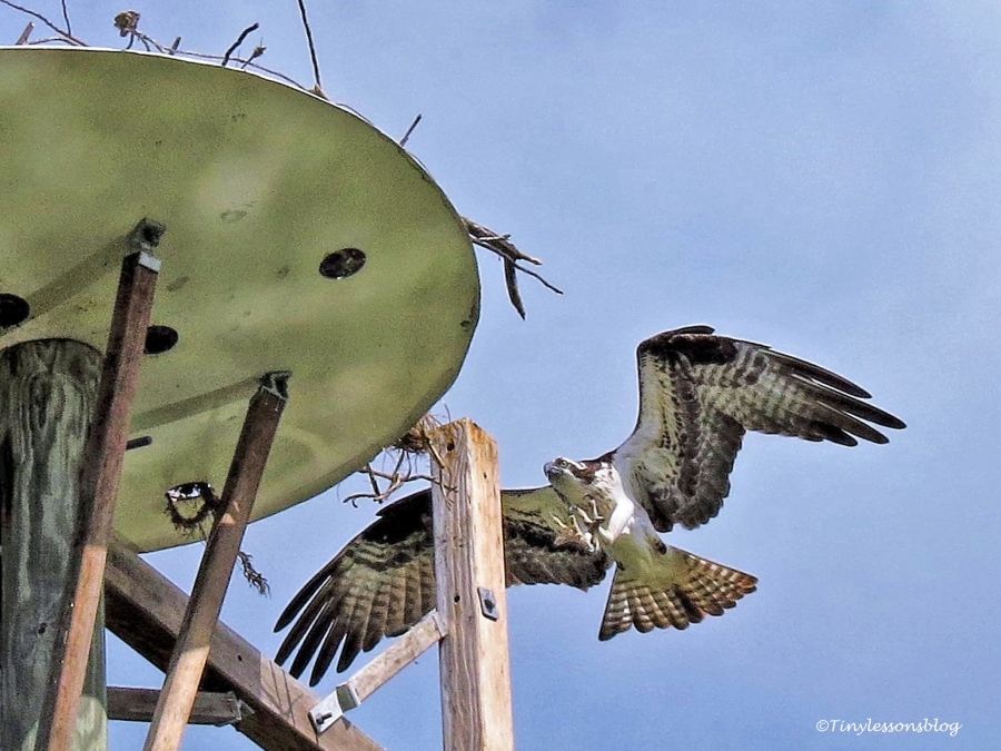 mama osprey returns to the nest ud115