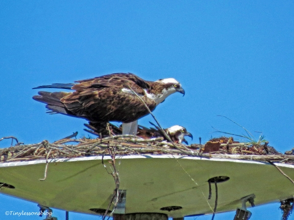 mama osprey wants fish ud117