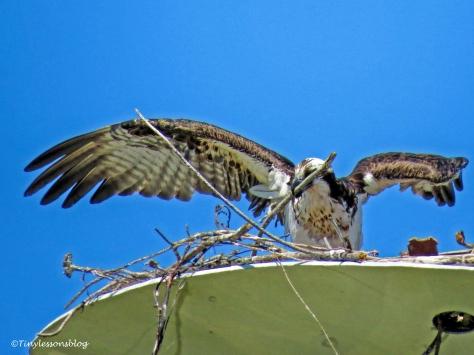 mama osprey working ud117