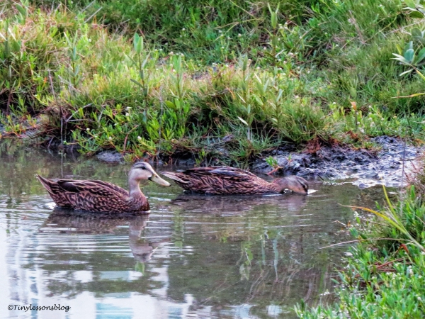 mottled duck couple at sunset ud122