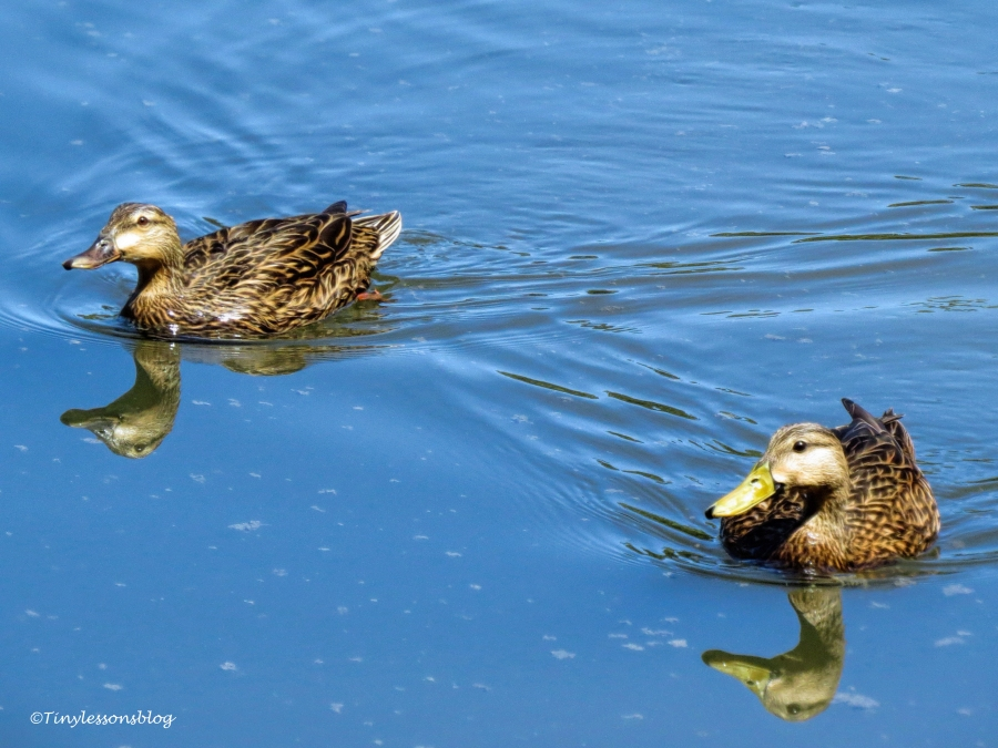 mottled duck couple ud120