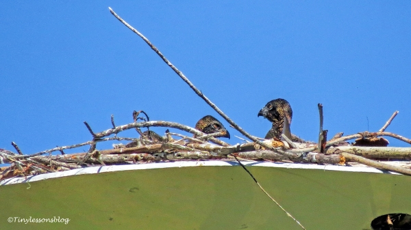 osprey chicks siblings ud120