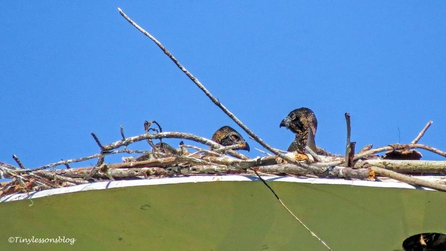 osprey chicks siblings ud120