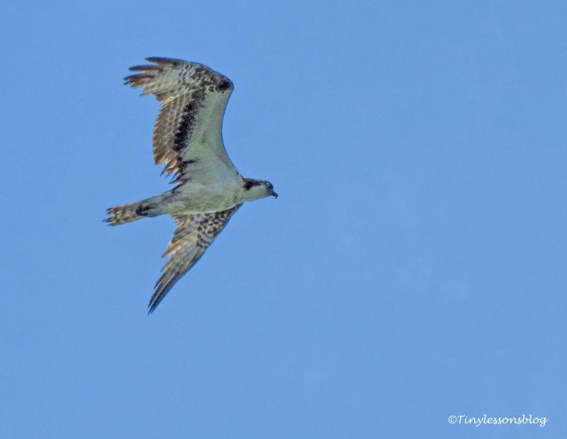 osprey st augustine ud122