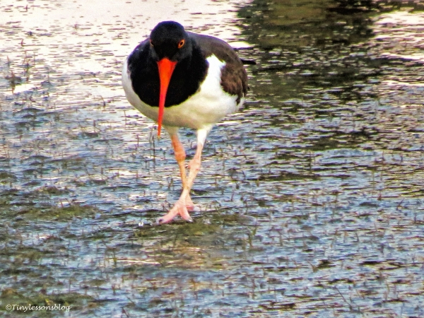 oyster catcher ud115