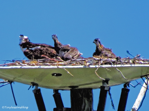 papa osprey and the chicks ud122