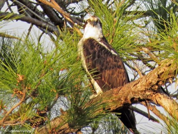 papa osprey at sunset ud115