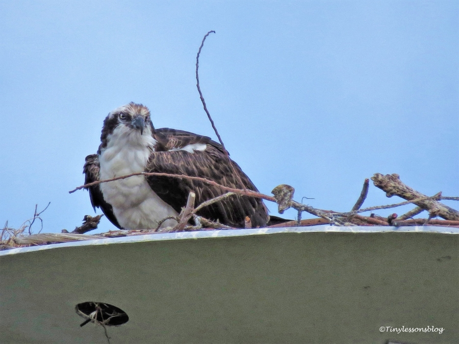 papa osprey at the nest 2 ud115