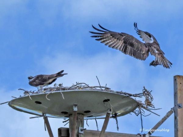 papa osprey brings fish ud122