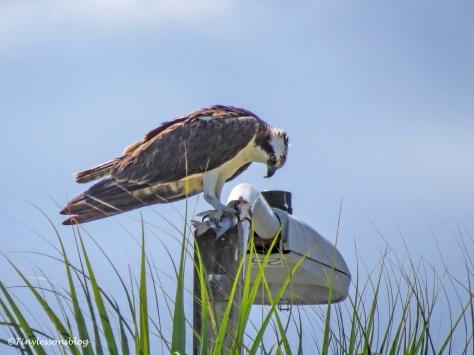 papa osprey eats a fish ud122