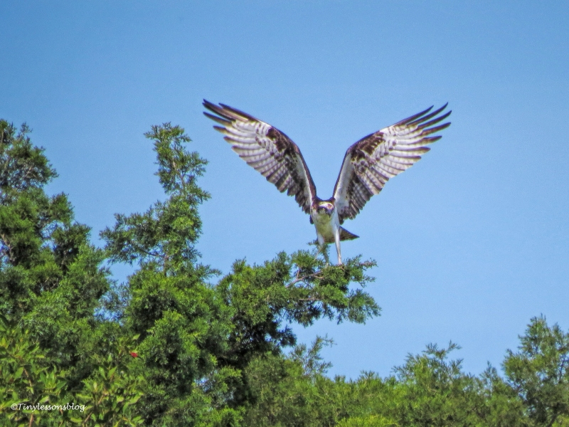 papa osprey lands to rest ud115