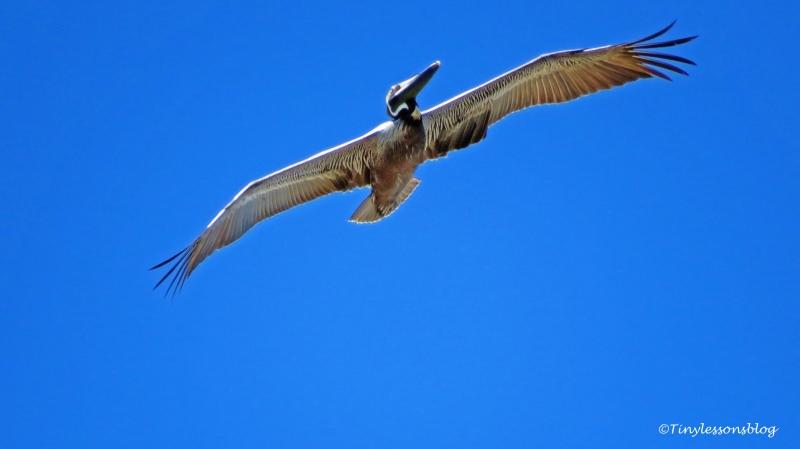 pelican in flight ud117