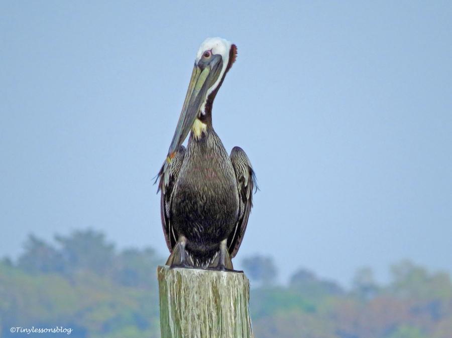 pelican ud115