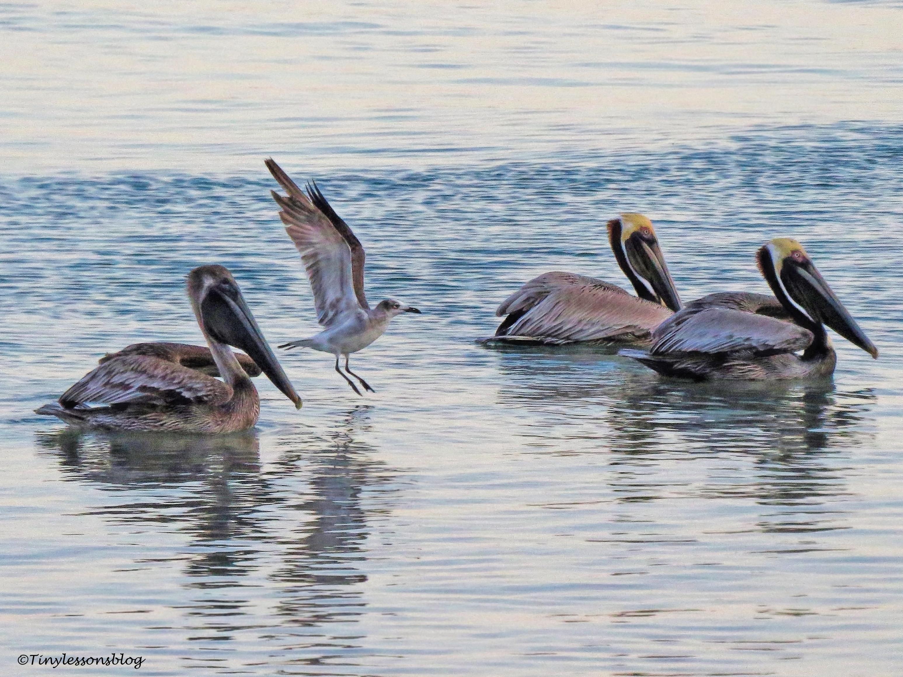 Pelicans ud115