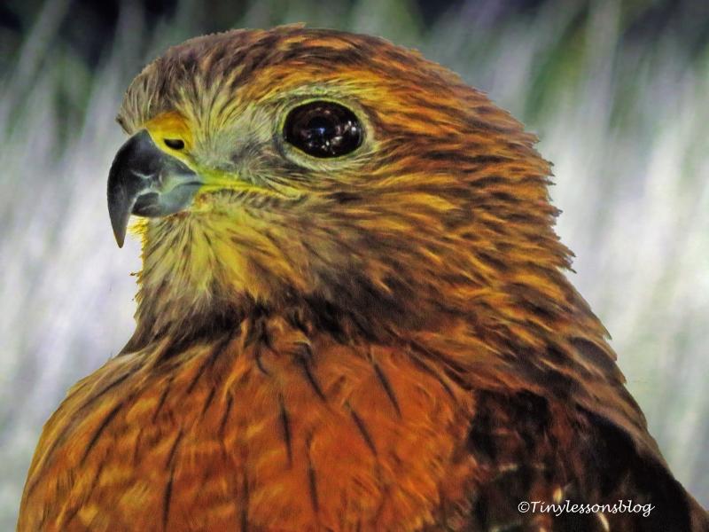 red-shouldered hawk ud121