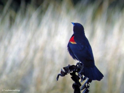 red-winged blackbird at sunset ud120