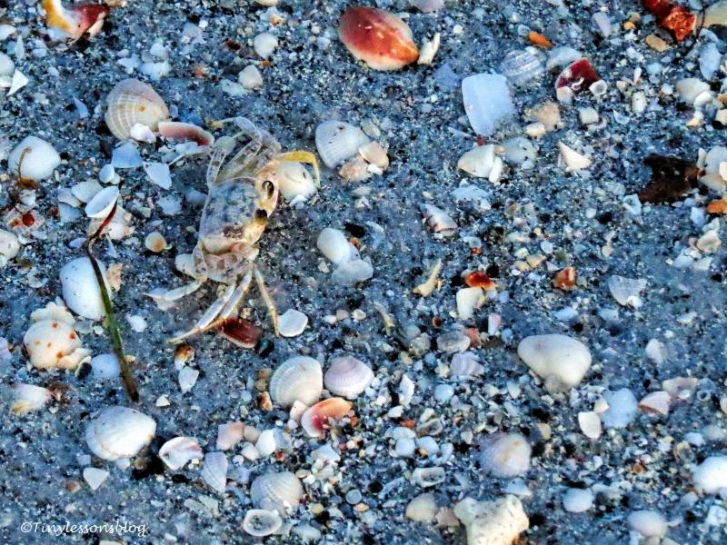 sand crab UD121