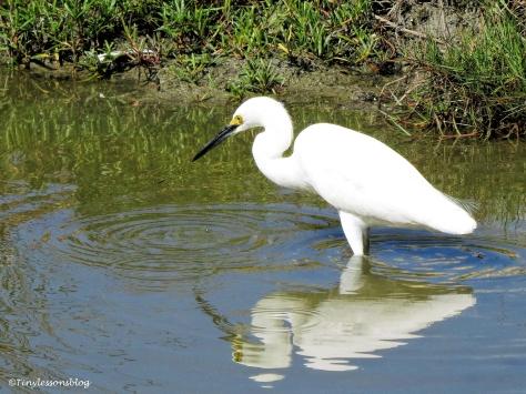 snowy egret ud115