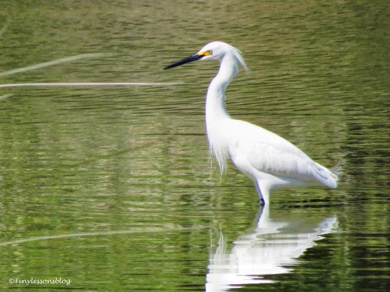 snowy egret ud117