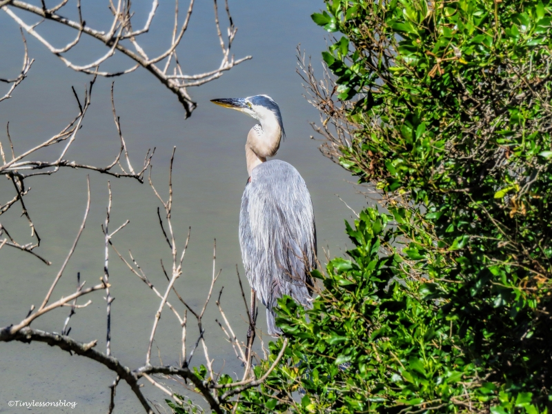 the younger blue heron ud120