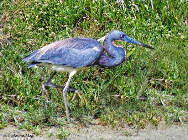 tri-colored heron ud115
