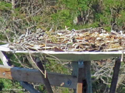 two osprey chicks alone in the nest ud119