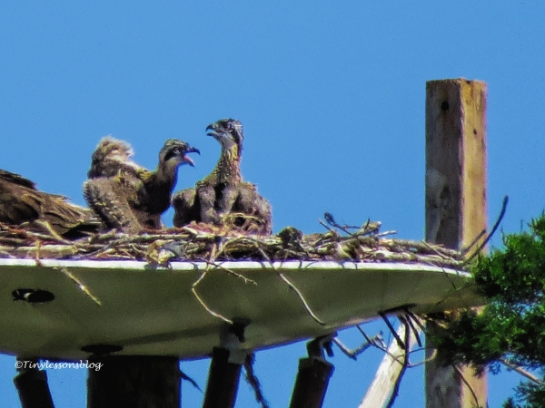 two osprey chicks at 4 weeks ud122