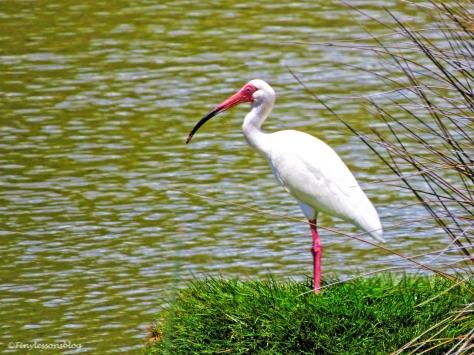white ibis ud121